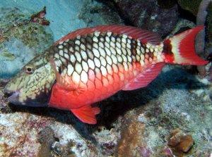 initial parrotfish